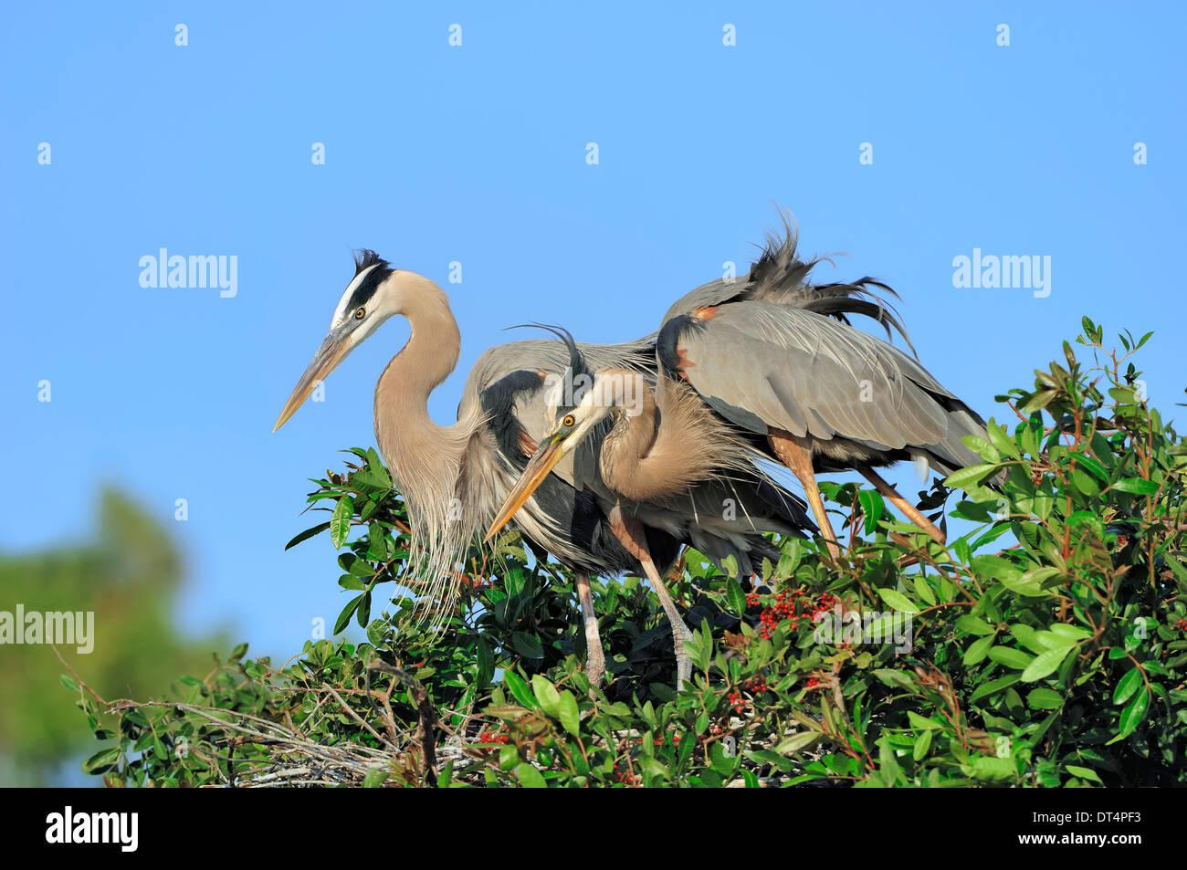 Great Blue Heron (Ardea herodias), pair at nest, Florida, USA - Stock Image