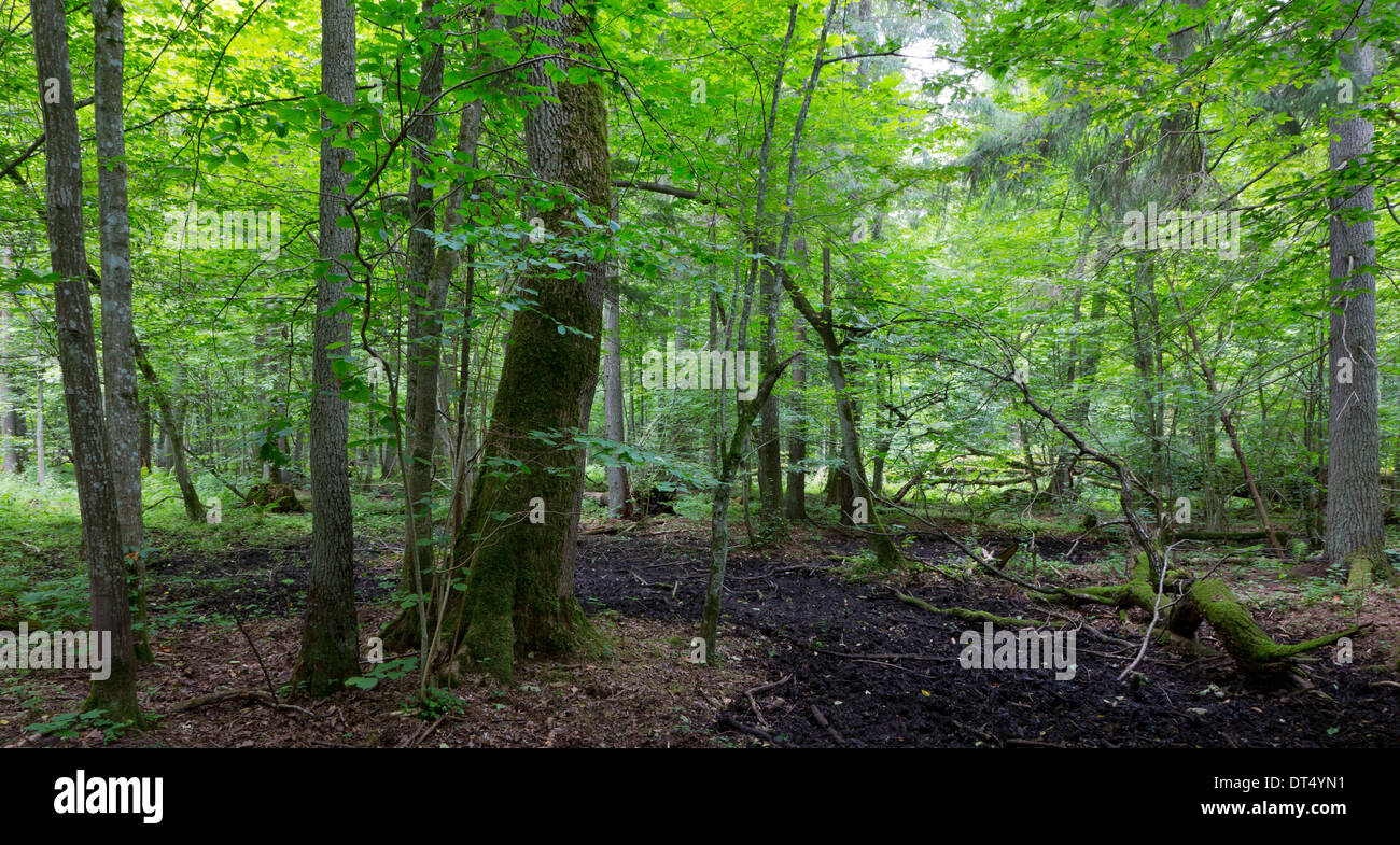 Primeval deciduous stand of Bialowieza Forest in summer with old trees and lush foliage - Stock Image