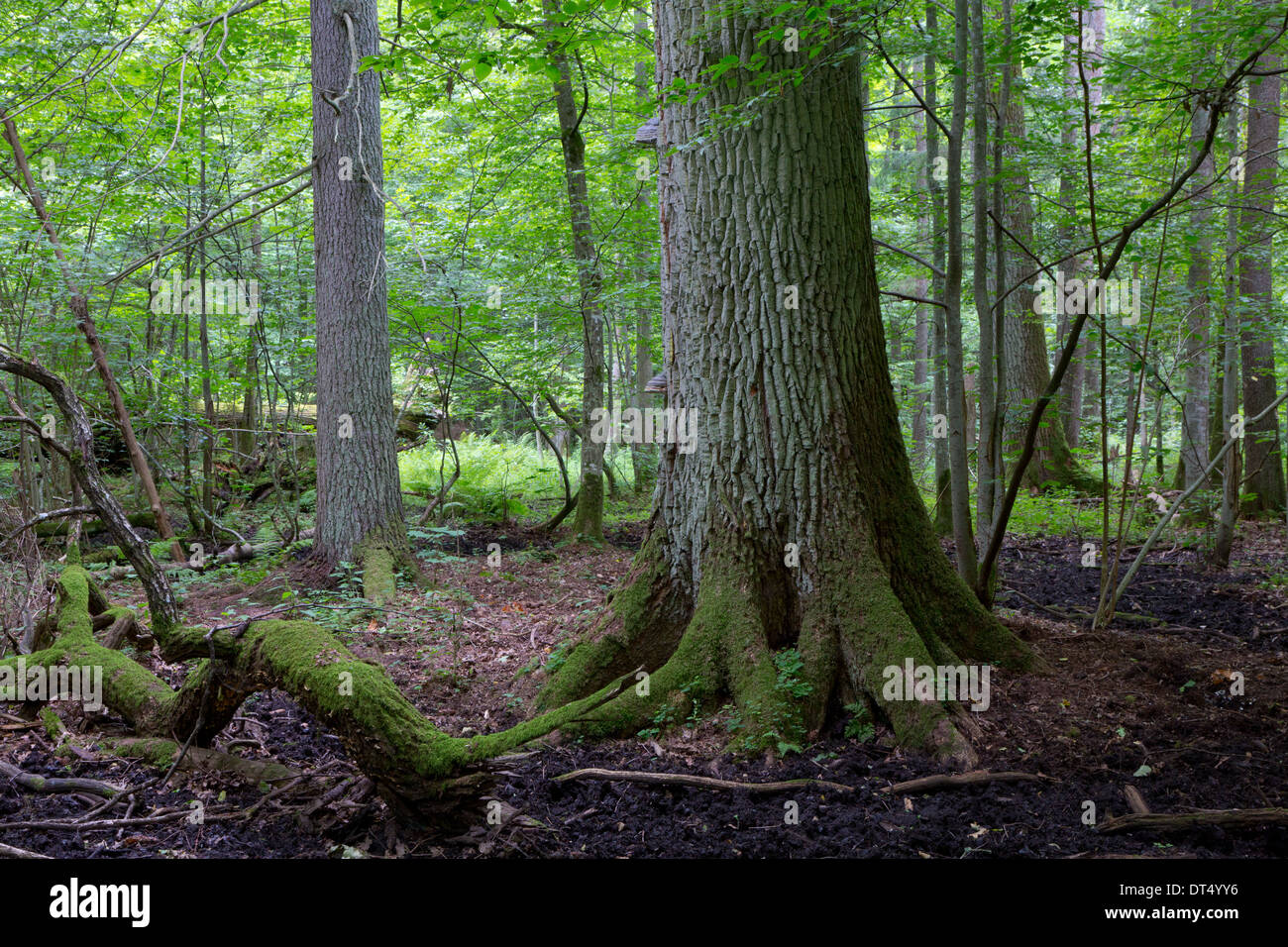 Primeval deciduous stand of Bialowieza Forest in summer with old oak tree in foreground - Stock Image