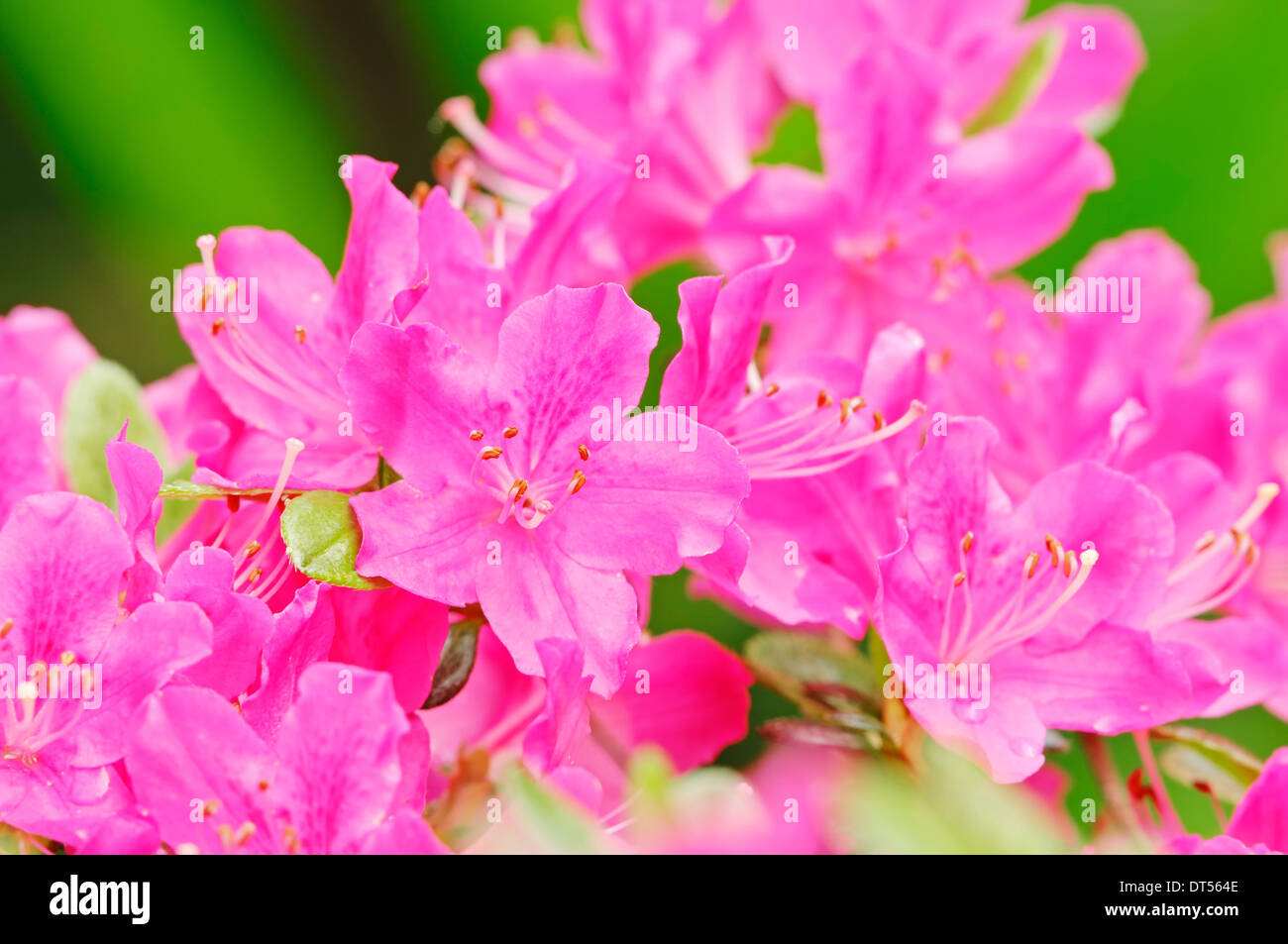 Azalea (Rhododendron spec.) - Stock Image