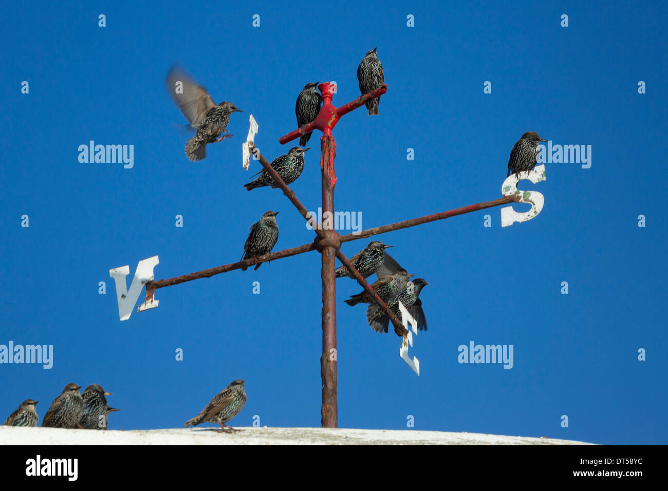 Starlings on a weather vane at Seahouses in Northumberland - Stock Image