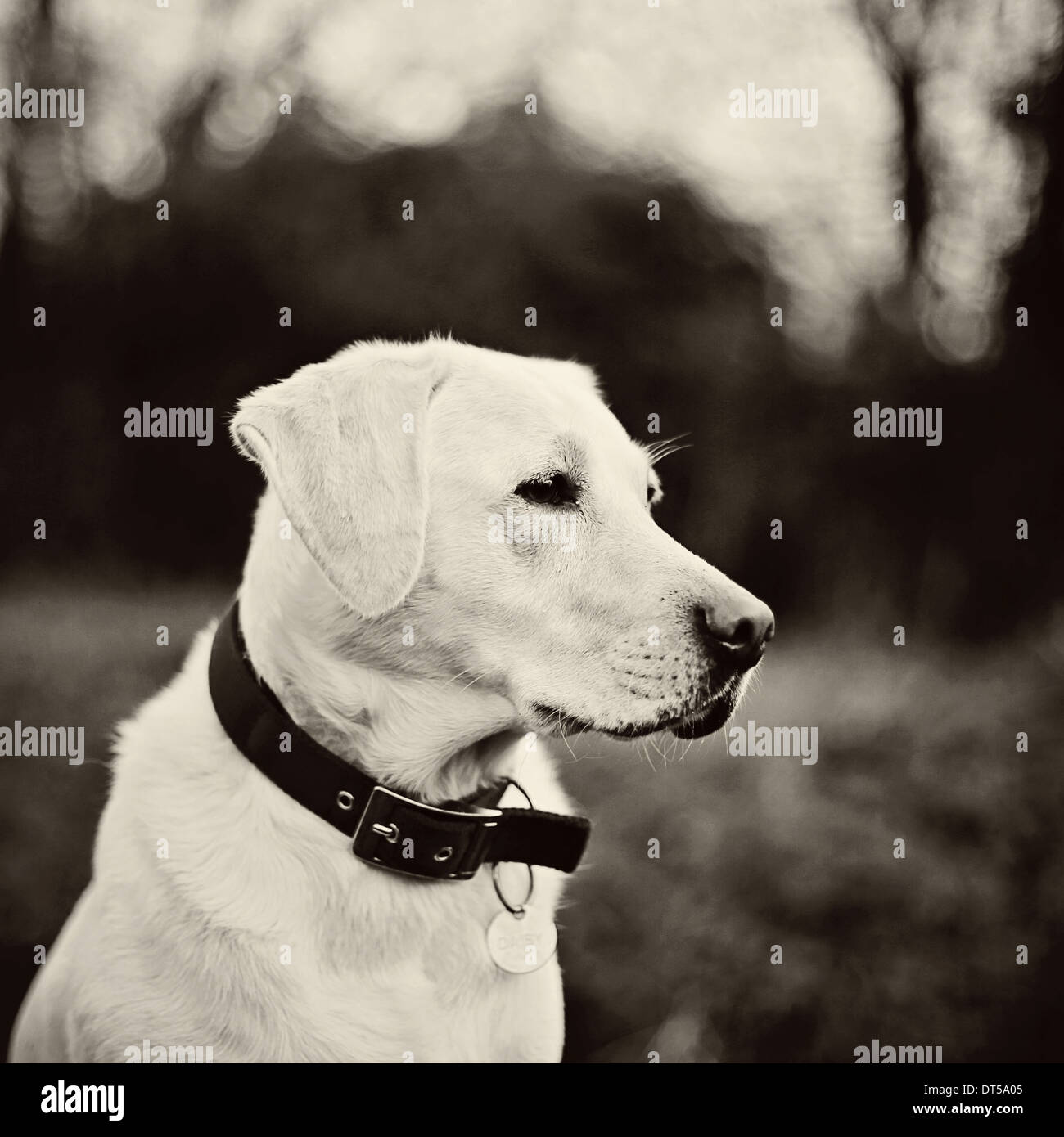 Labrador dog head shot - Stock Image