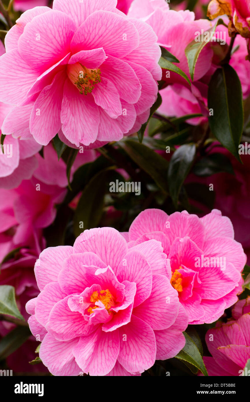 Semi double pink Camellia x williamsii 'Donation' in a Plymouth garden - Stock Image