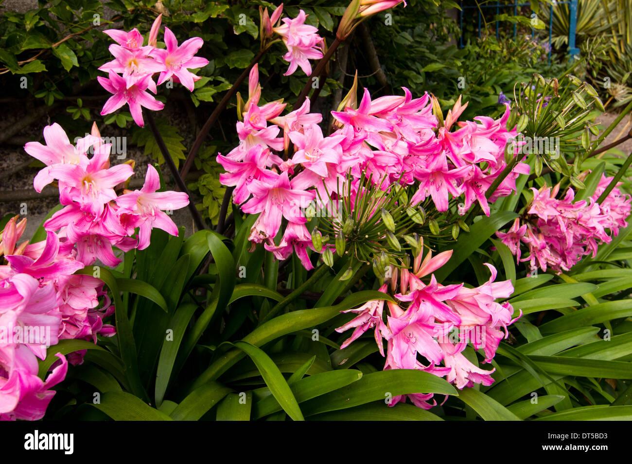 Pink flowered Amaryllis belladonna flowers Stock Photo