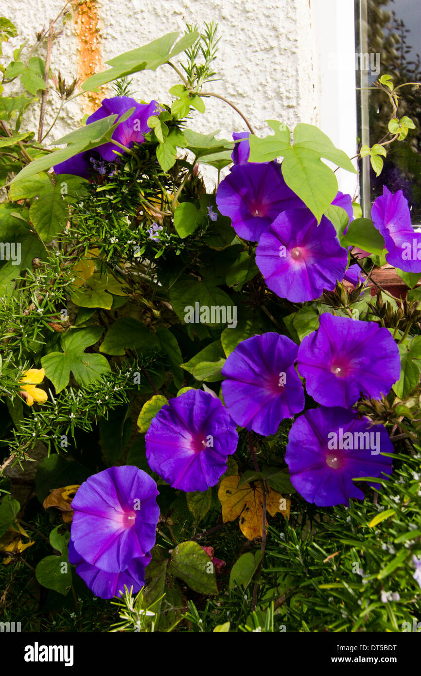 Perennial morning glory, Ipomea indica - Stock Image