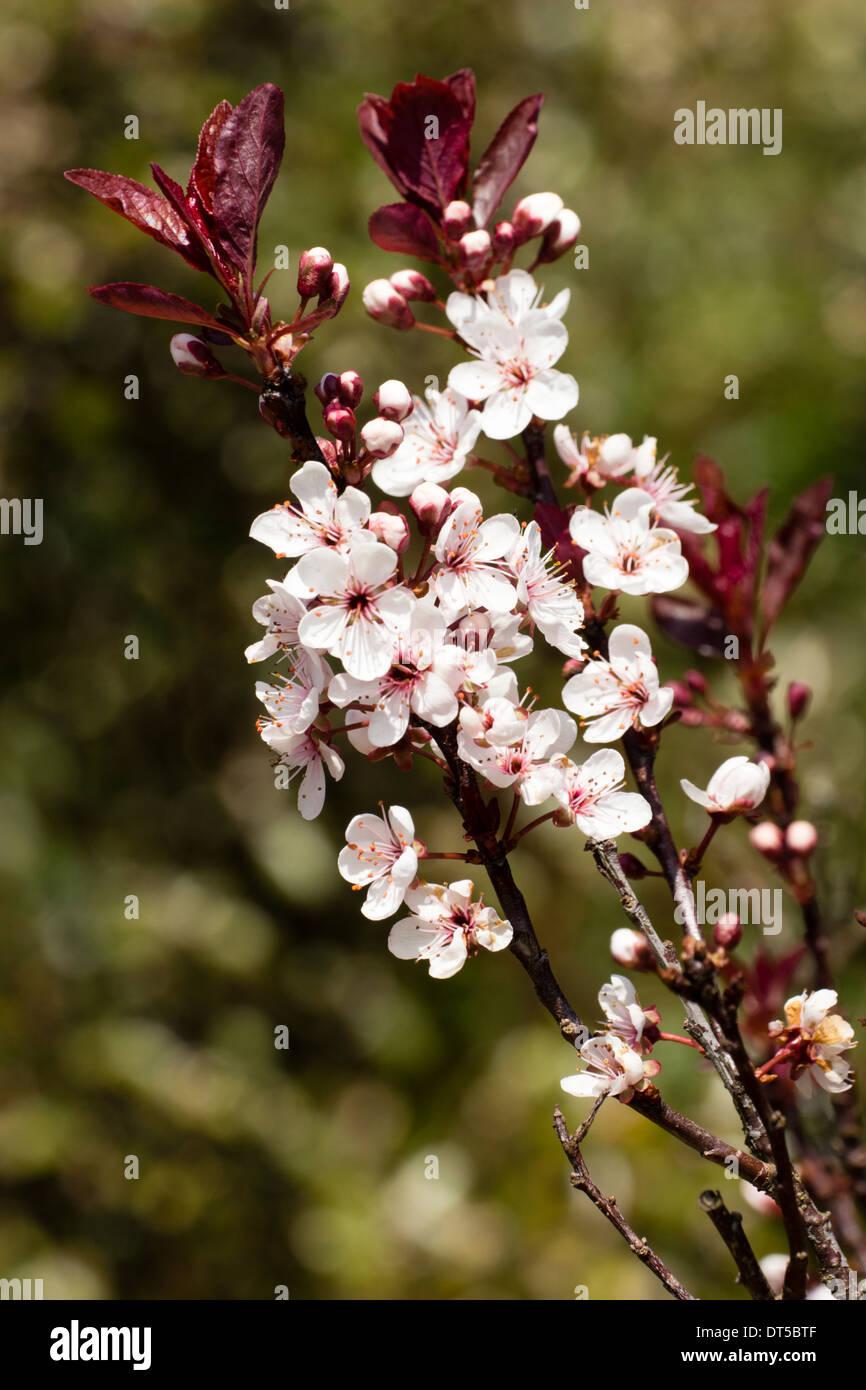 Flowering cherry, Prunus x cistena, in a Plymouth garden Stock Photo ...