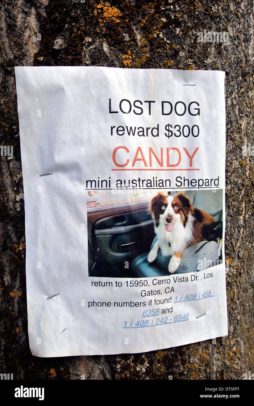 sign posted on tree offering a $300 reward for a lost mini australian shepard dog - Stock Image