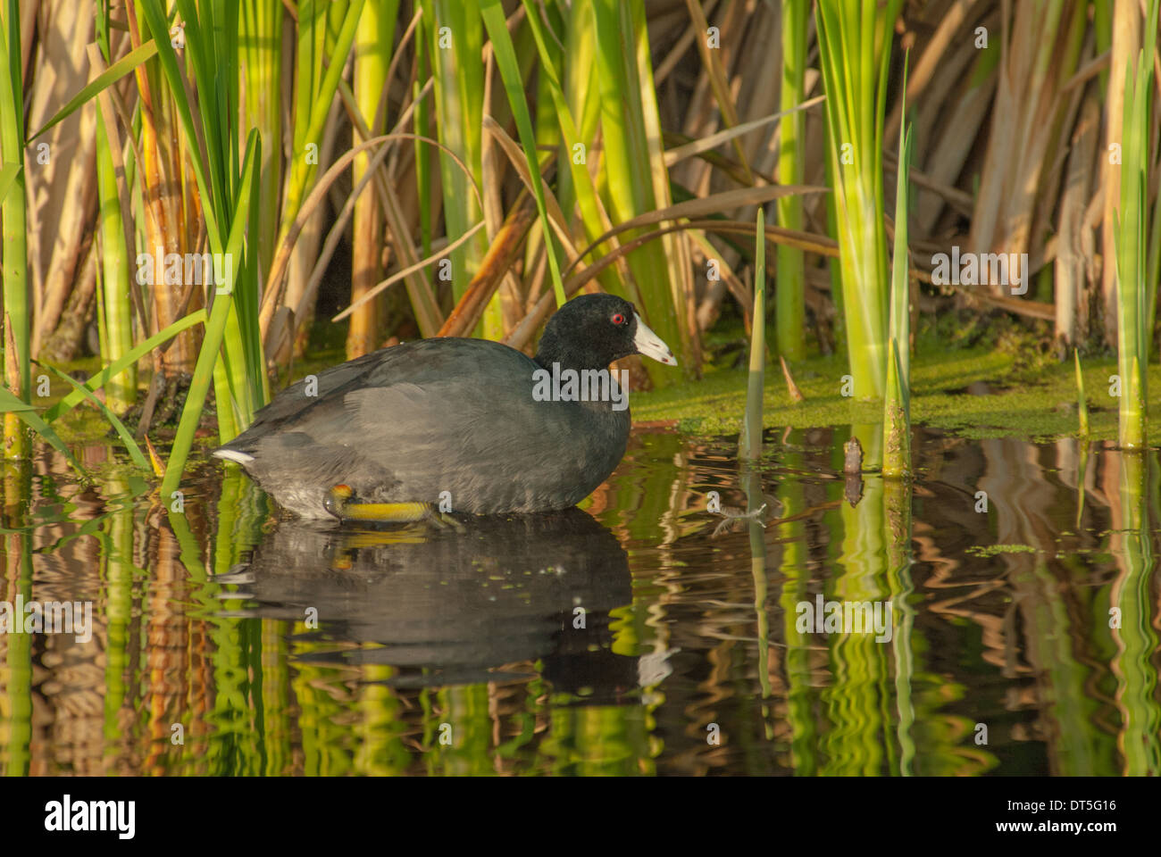 American coot, Fulica americana, swimming in reflective open water in a marsh in the early evening, Big Lake, Alberta Stock Photo