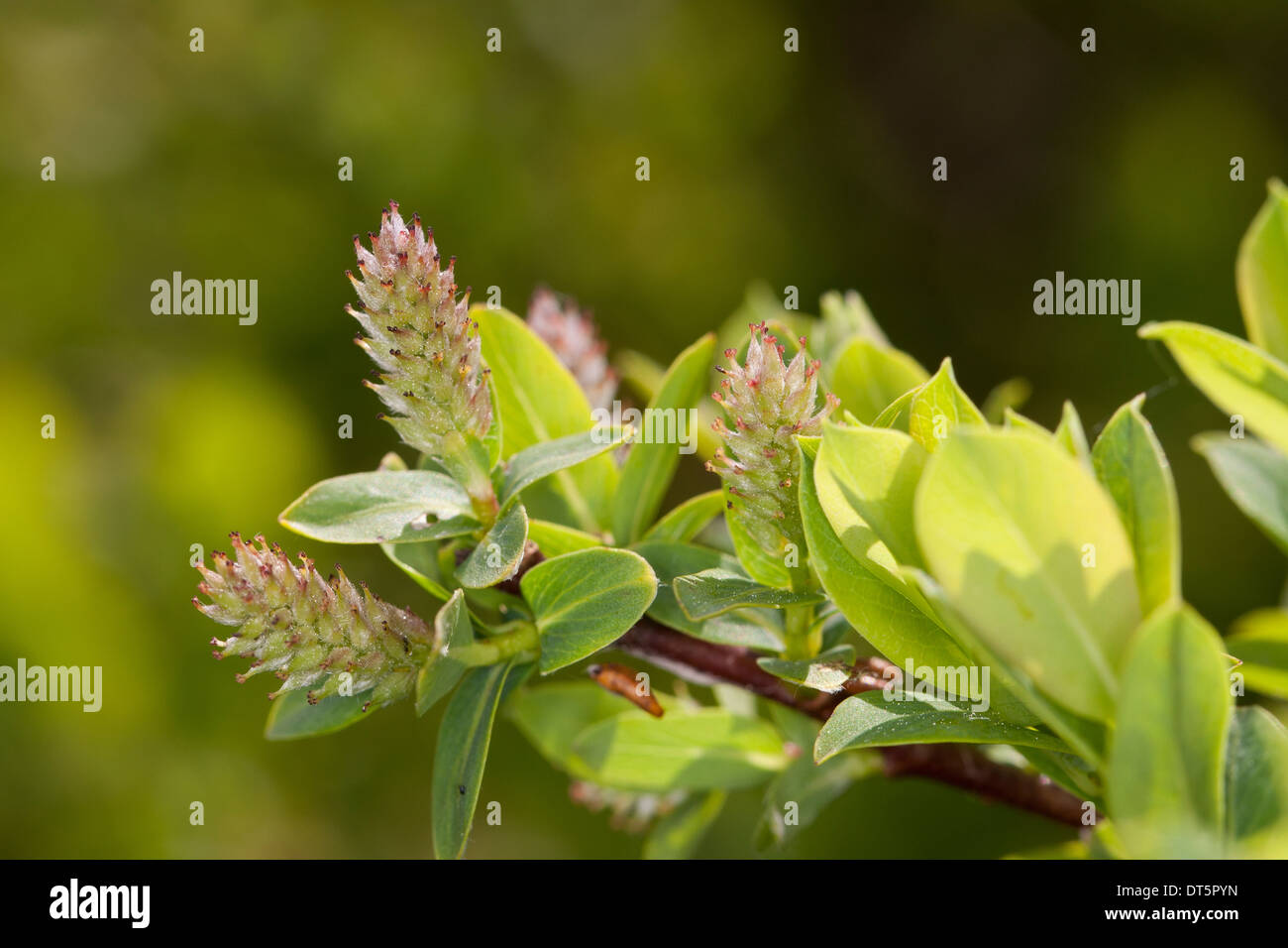 Blue willow, Blue Leaved Willow, Blaugrüne Weide, Hechtblaue Weide, Salix caesia Stock Photo