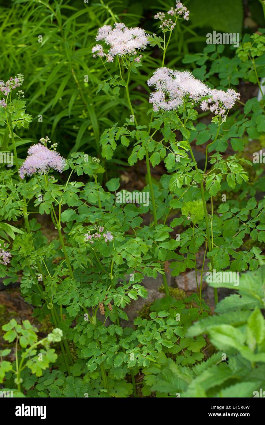 greater meadow-rue, columbine meadow-rue, Akeleiblättrige Wiesenraute, Akeleiblättrige Amstelraute, Thalictrum aquilegiifolium - Stock Image