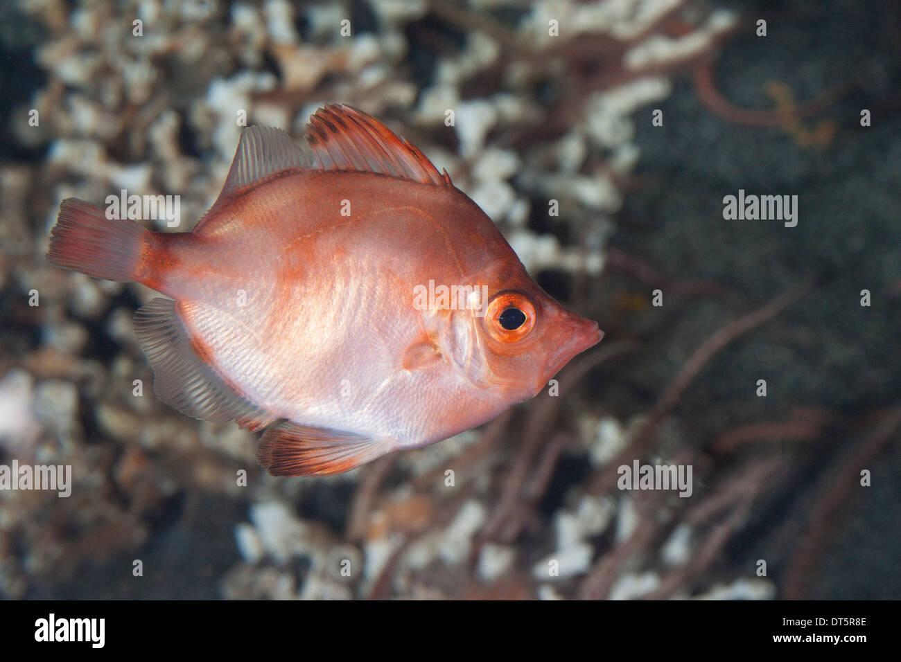 Boarfish, Eberfisch, Ziegenfisch, Capros aper Stock Photo