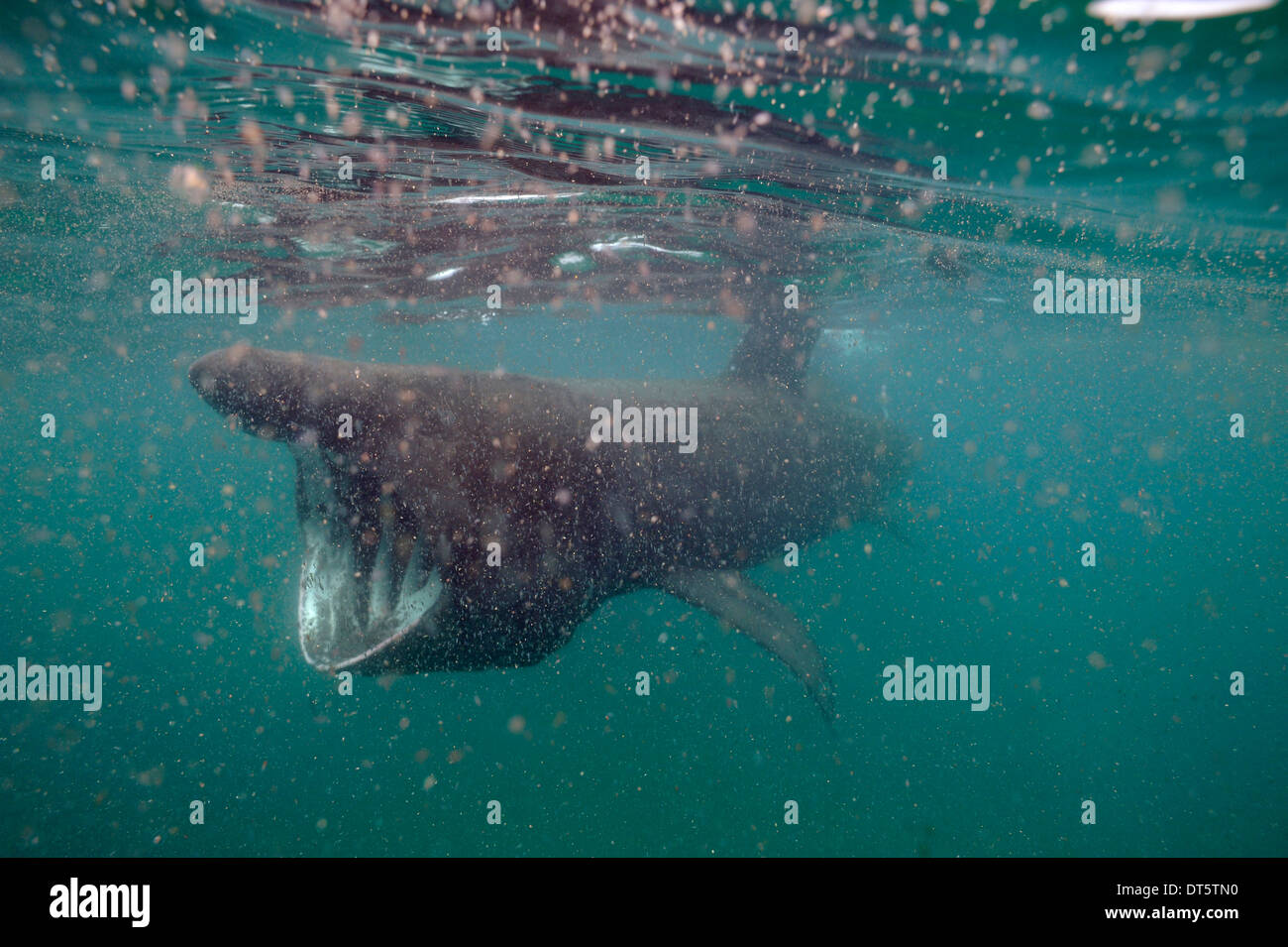 Basking shark in thick plankton - Stock Image