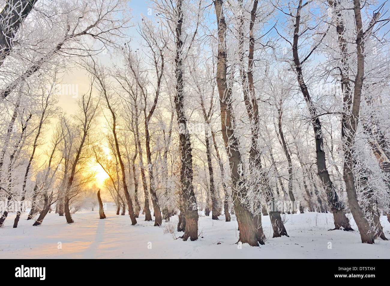 rising sun in winter forest - Stock Image