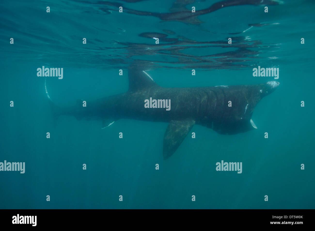 Basking shark - Stock Image