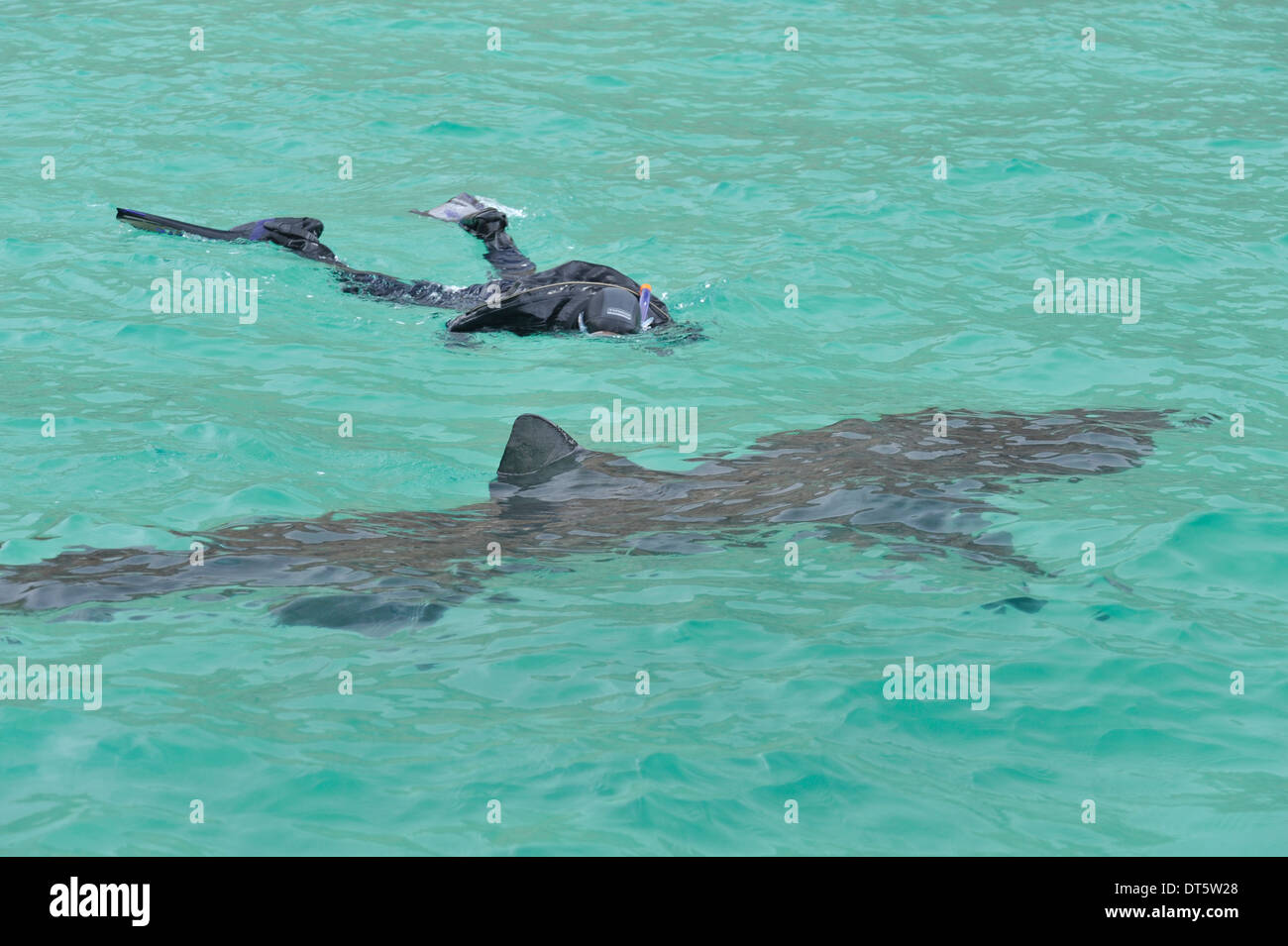 swimming with basking sharks - Stock Image