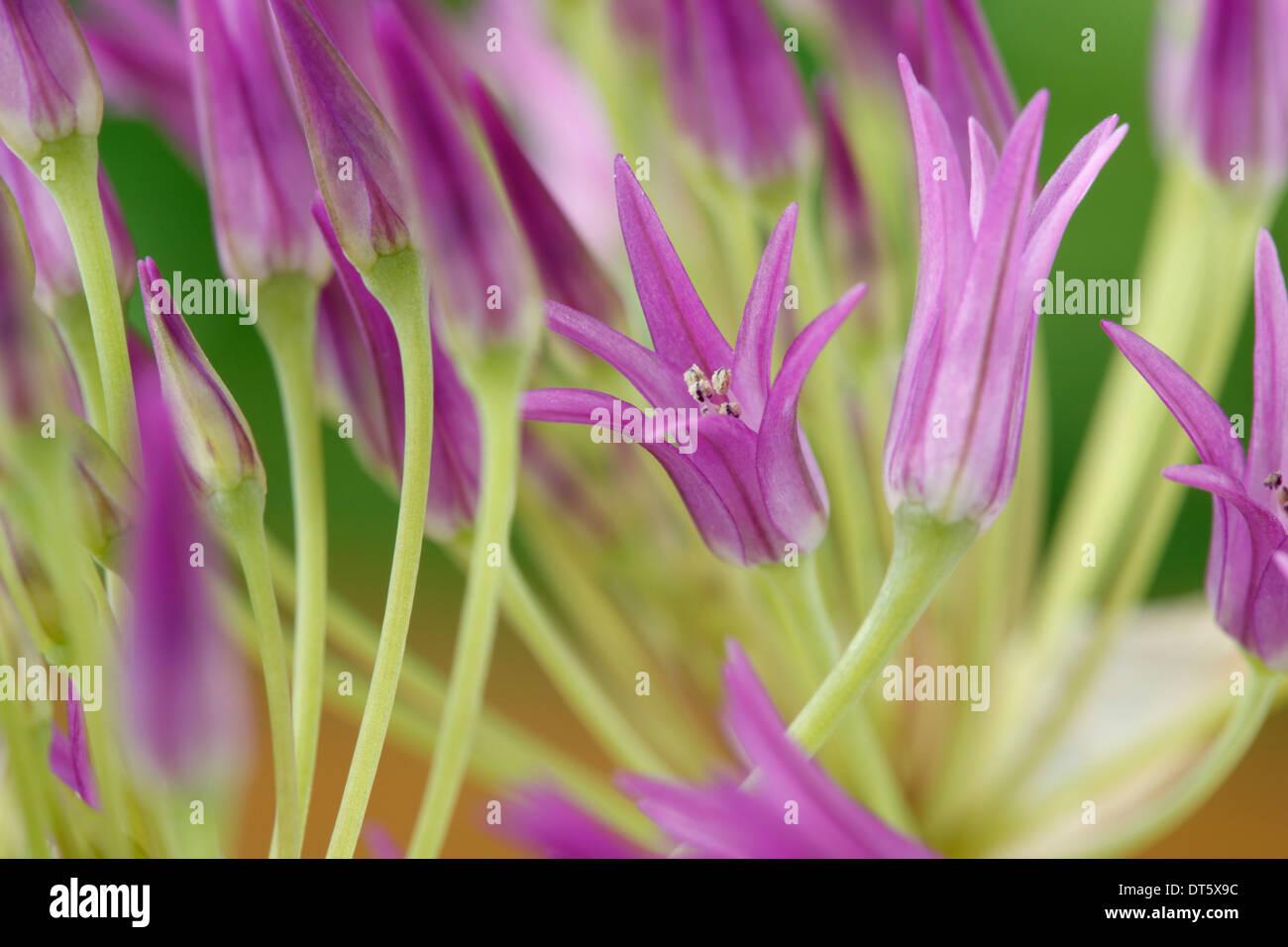 Allium falcifolium Sickle-headed garlic - Stock Image