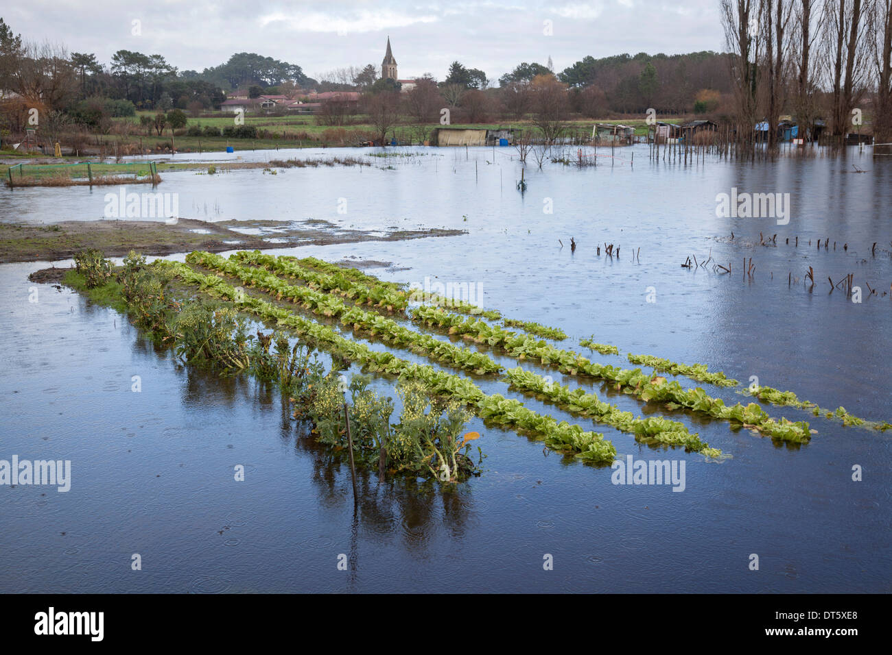 At Soorts Hossegor (France), the lettuce patch of an allotment emerging from the flood at the time of a torrential Stock Photo
