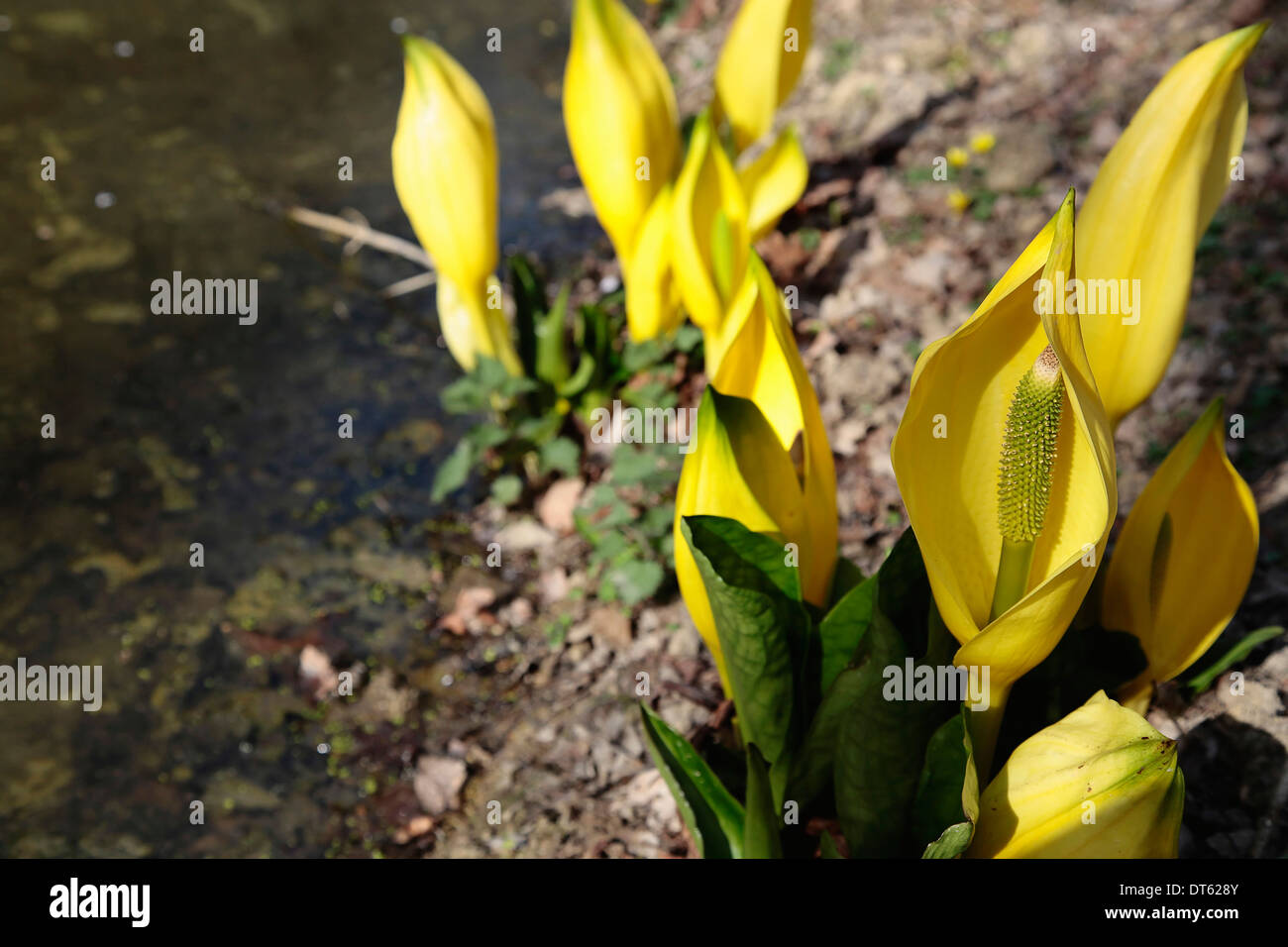 Marginal water plant stock photos marginal water plant stock yellow skunk cabbage lysichiton americanus marginal aquatic plant in flower at the edge of mightylinksfo