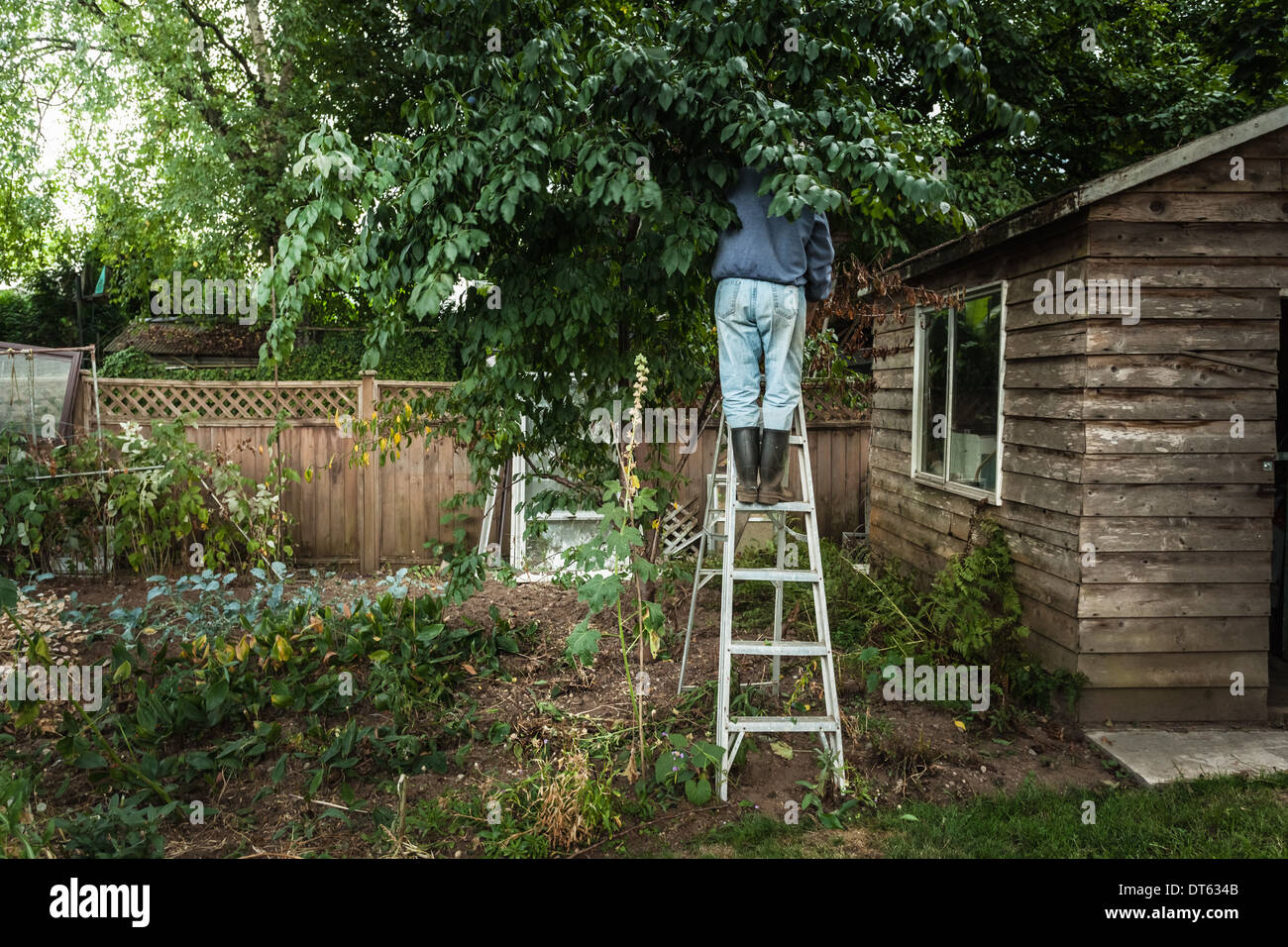 Man on ladder in tree - Stock Image