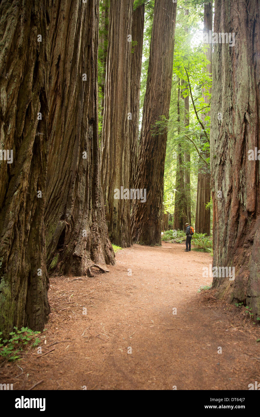 Mature man in Redwoods national Park, California, USA Stock Photo