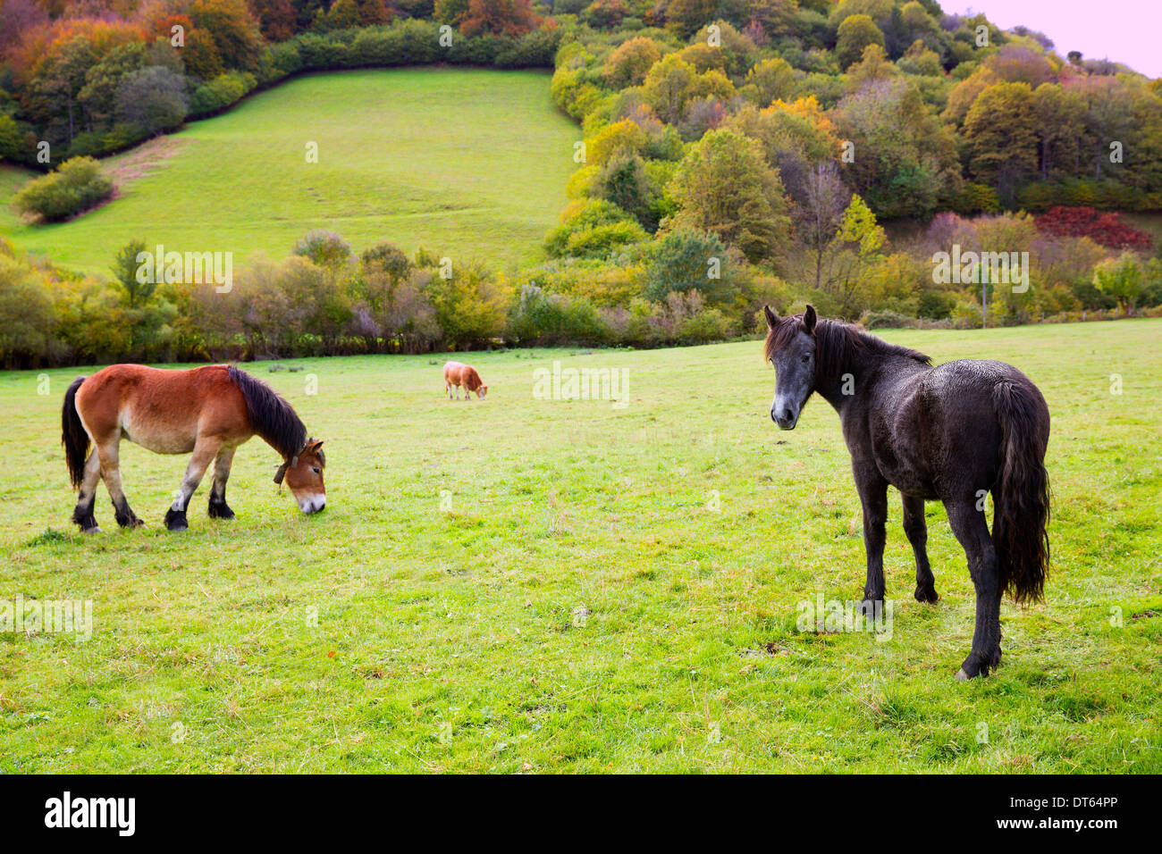 Horses and cows grazing in Pyrenees green autumn meadows at Spain - Stock Photo