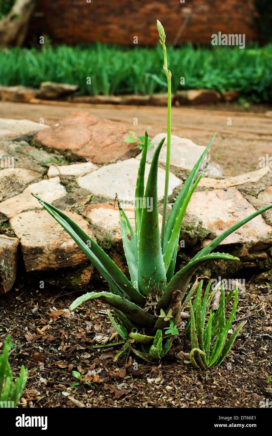 Aloe In Giardino aloe vera plant in garden stock photo: 66519657 - alamy