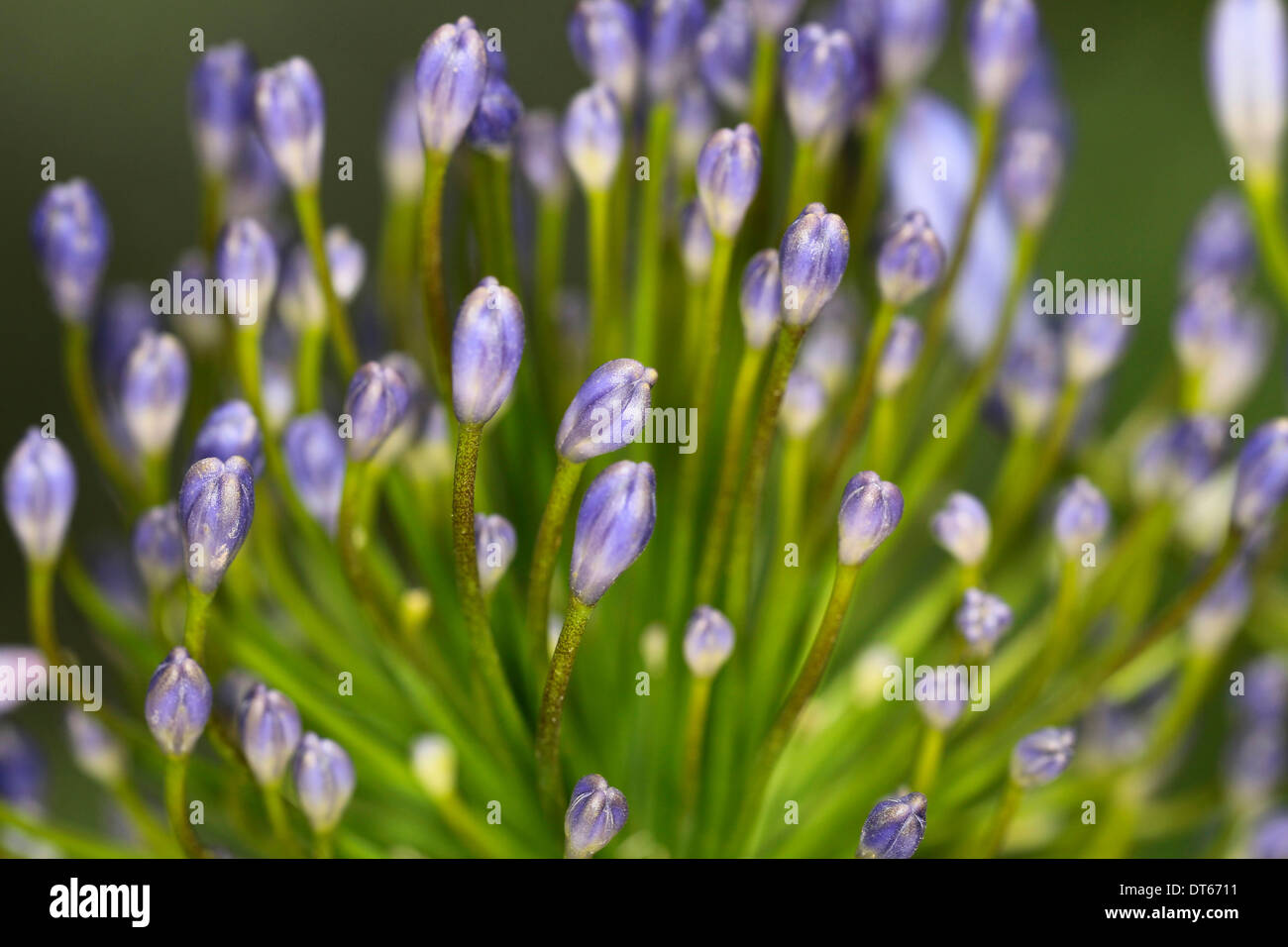 Lily of the nile agapanthus close up of purple flower buds stock lily of the nile agapanthus close up of purple flower buds izmirmasajfo