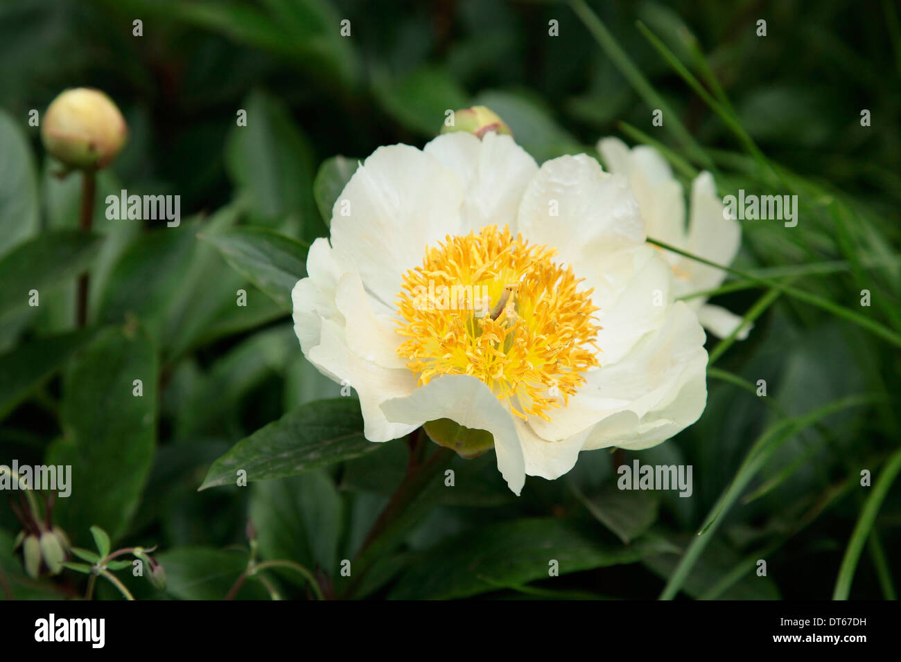 Peony Paeonia Krinkled White Single White Flower With Yellow
