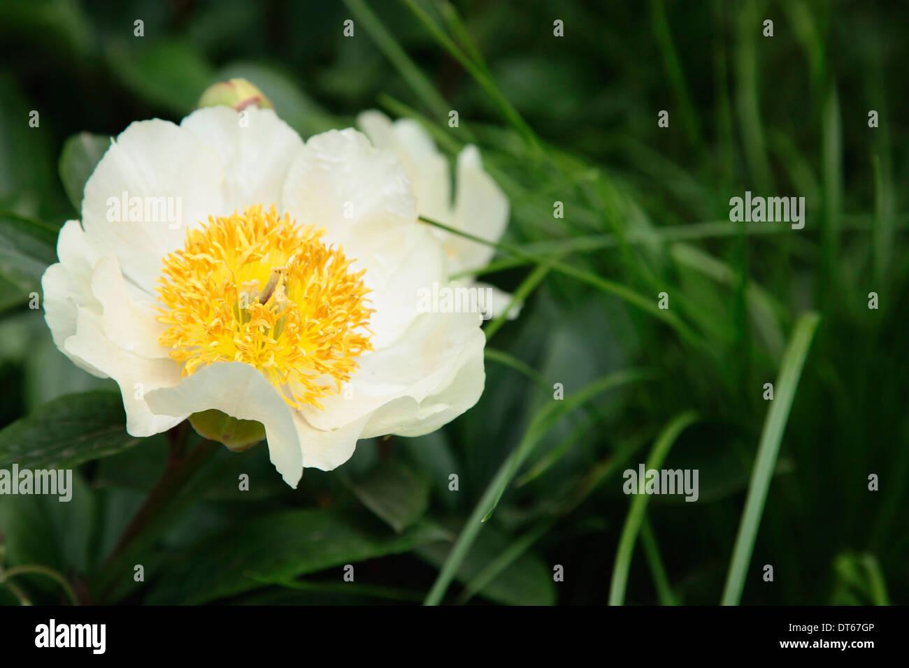 Peony paeonia krinkled white single white flower with yellow peony paeonia krinkled white single white flower with yellow stamen growing amongst green leaves mightylinksfo