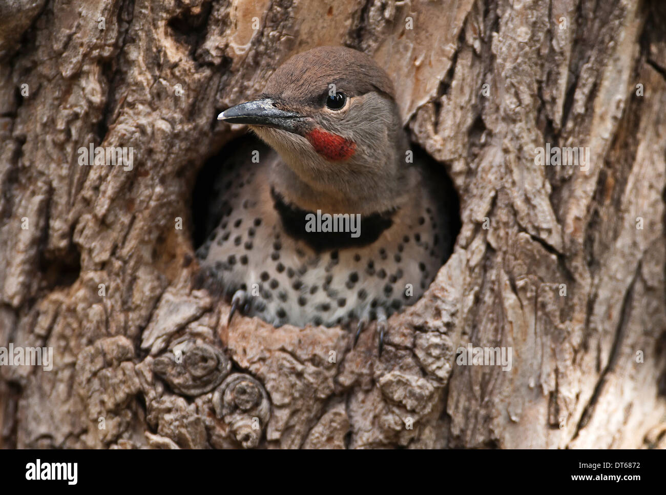 Canada Alberta Lethbridge Northern Flicker Colaptes auratus fledged woodpecker chick about to leave nest in old gnarled Elm tree - Stock Image