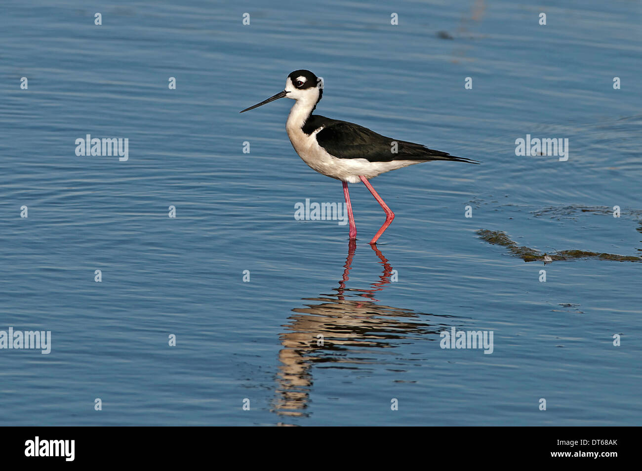 Canada, Alberta, Tyrrell Lake, Black-necked Stilt bird, Himantopus mexicanus, with reflection in the water. - Stock Image