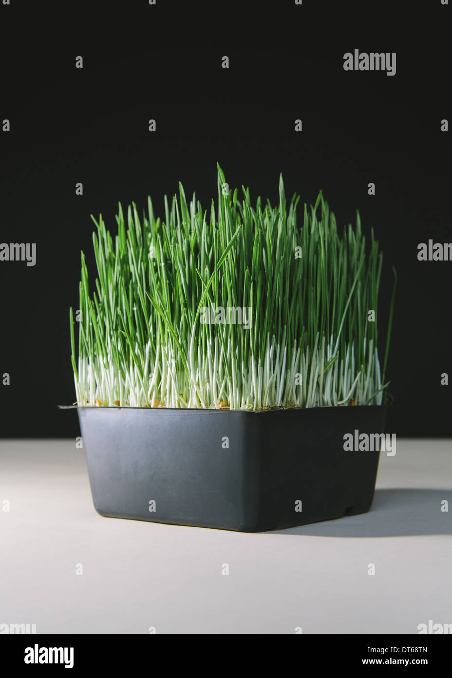 A shallow tray of organic wheatgrass in a growing medium. Green and white stems. - Stock Image