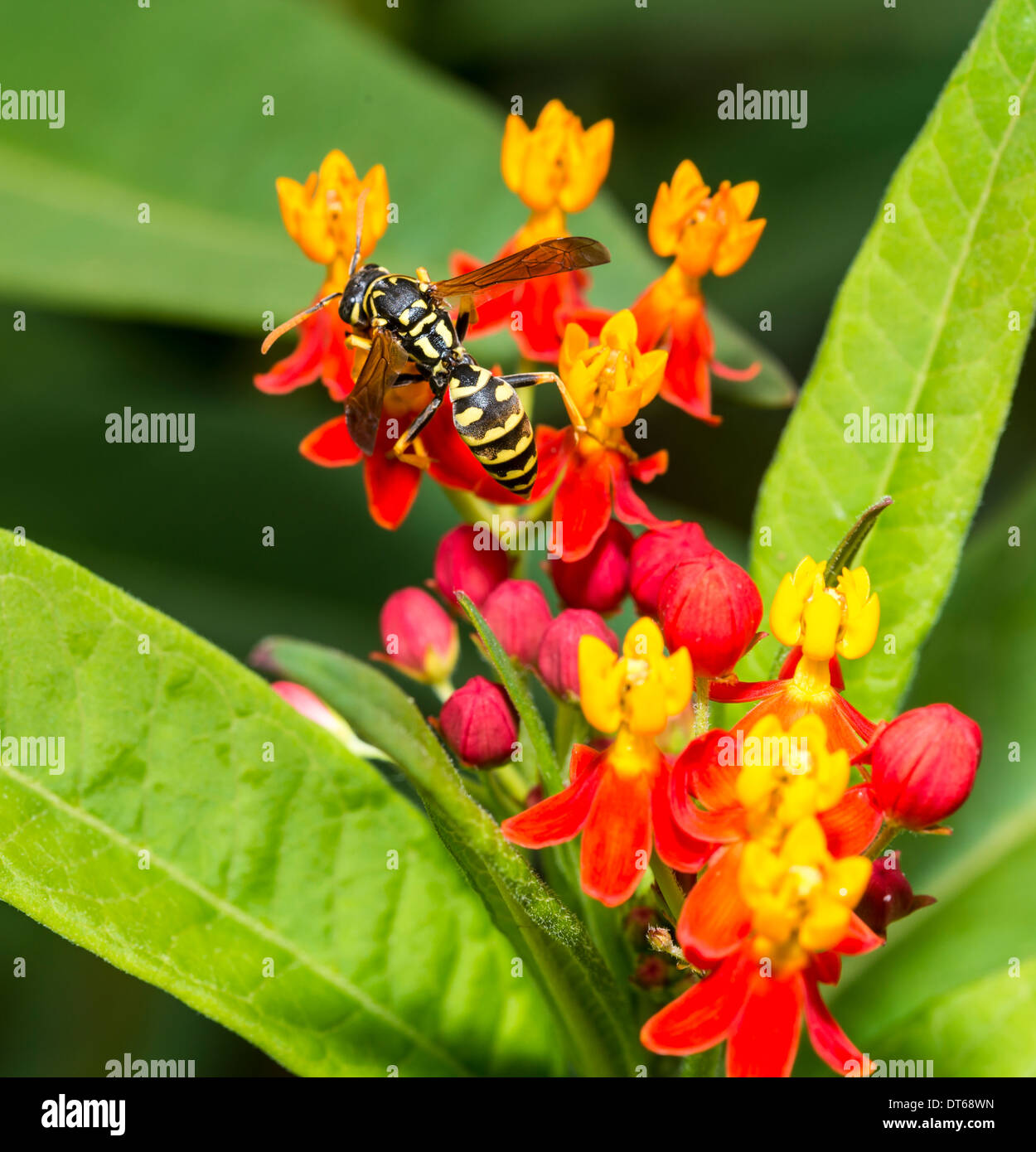 Yellow jacket is the common name in North America for predatory wasps of the genera Vespula and Dolichovespula - Stock Image