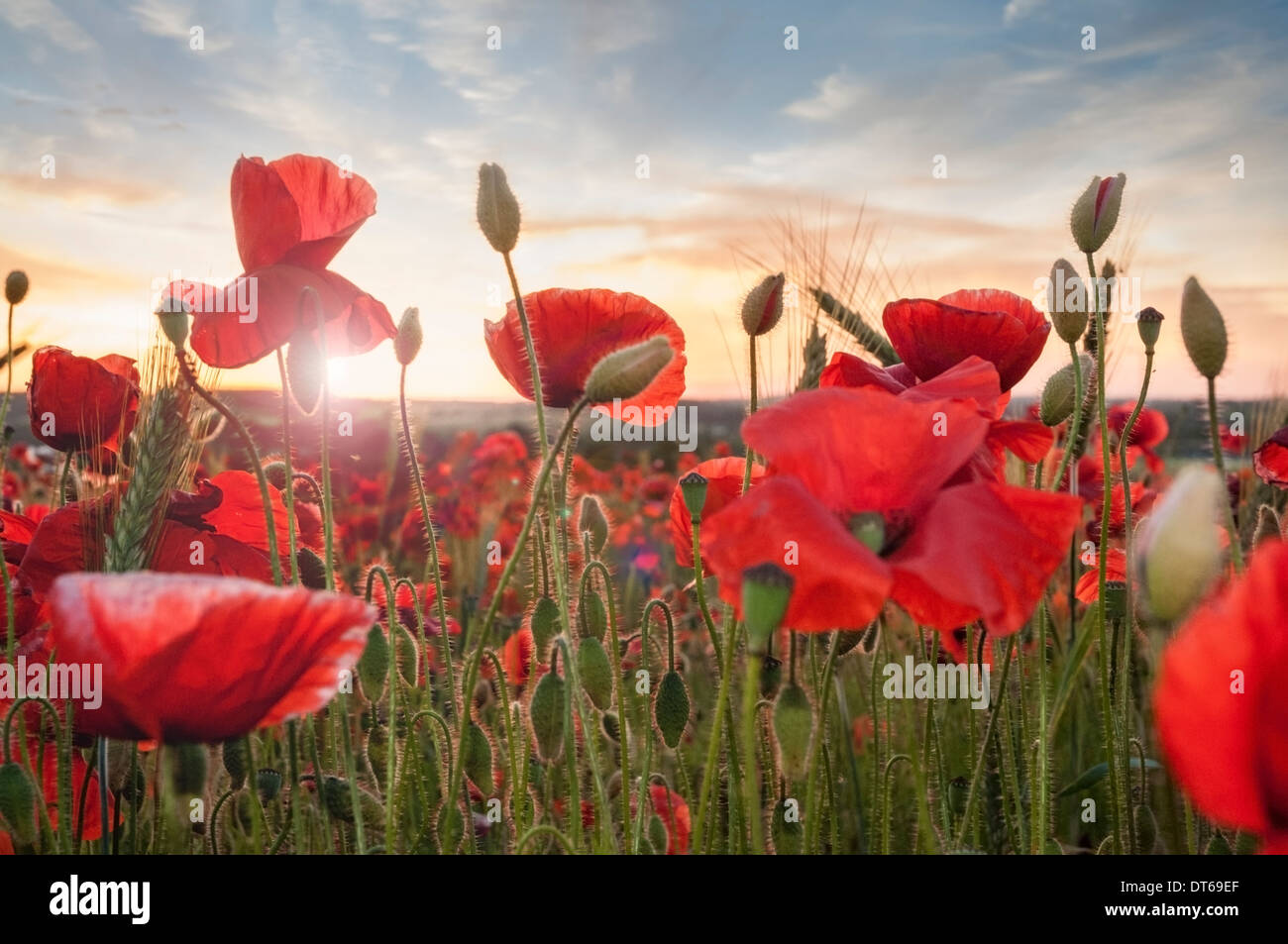 Poppy field at sunset - Stock Image