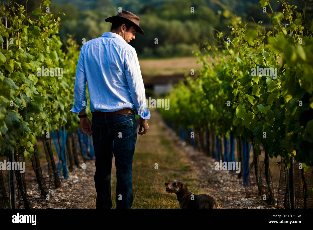 Mid adult man and dog monitoring wine and champagne vines, Cottonworth, Hampshire, UK - Stock Image