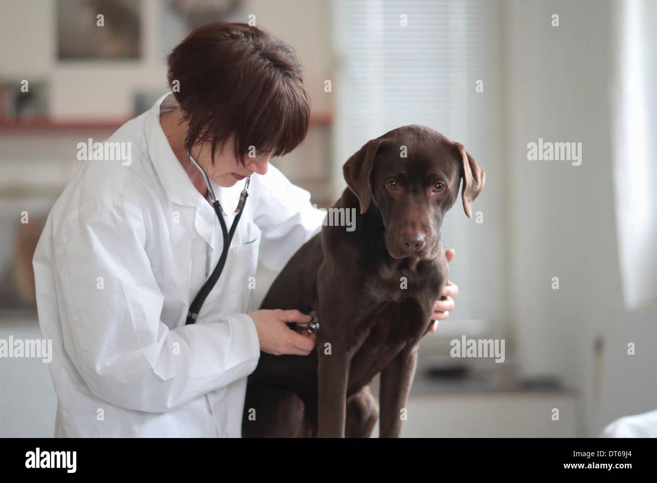 Female veterinarian listening to dogs chest through stethoscope - Stock Image