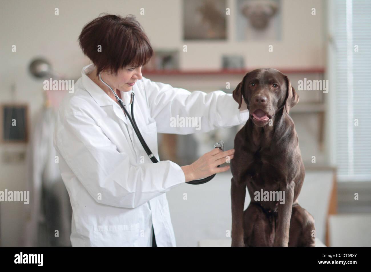 Female veterinarian examining dog in clinic - Stock Image