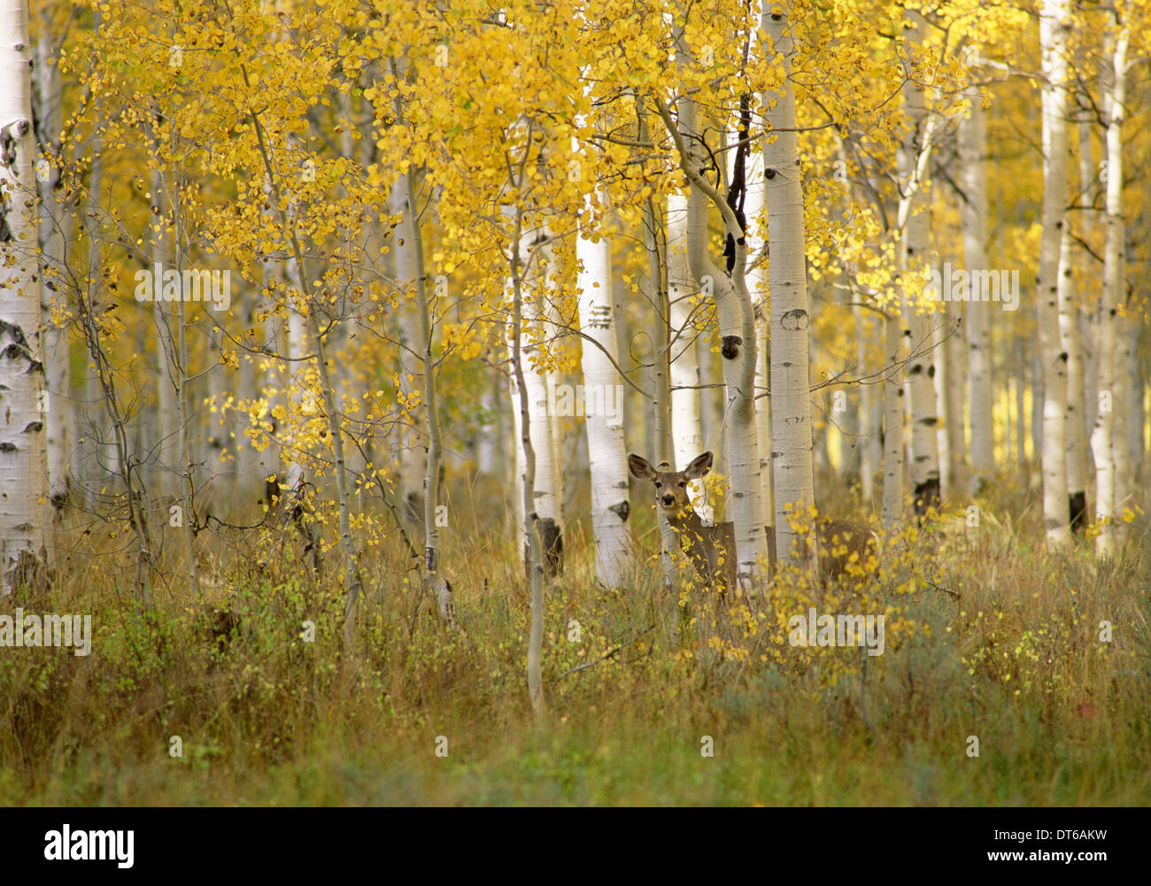 Autumn in Uinta national forest. A deer in the aspen trees. - Stock Image