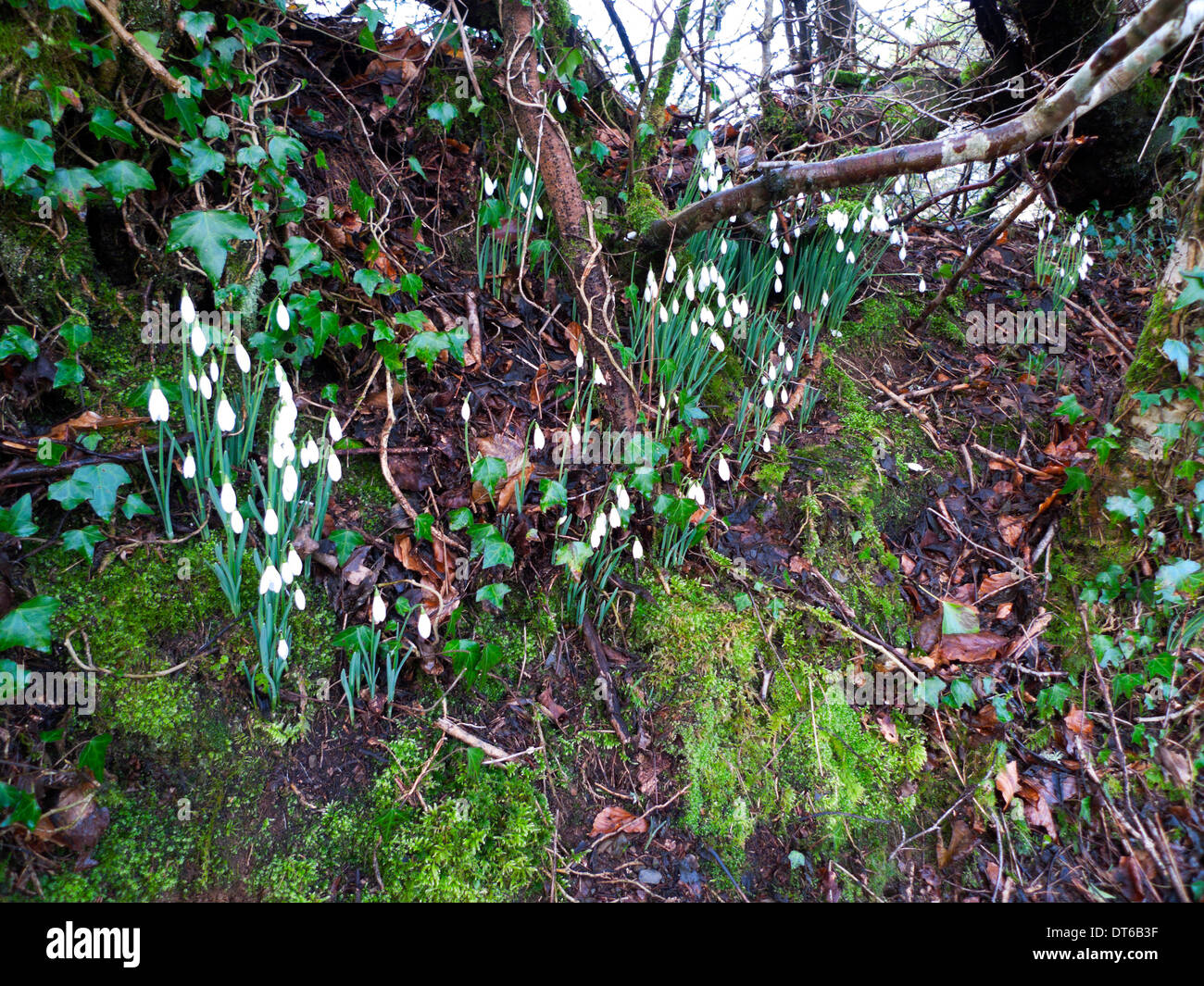 Snowdrops in woodland Carmarthenshire Wales UK  KATHY DEWITT - Stock Image