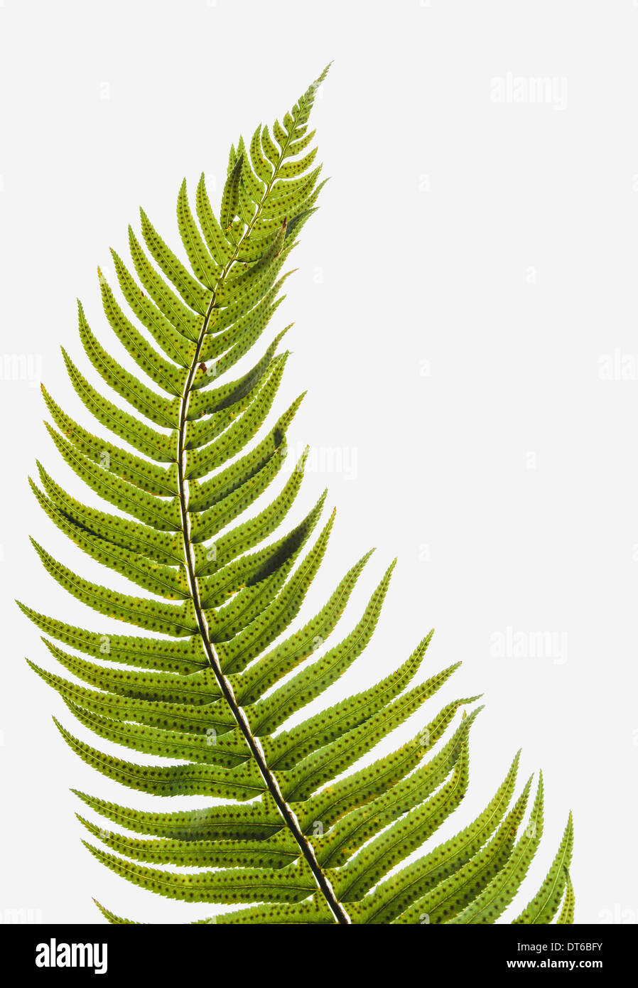 western sword fern a single leaf with leaves spaced evenly up the