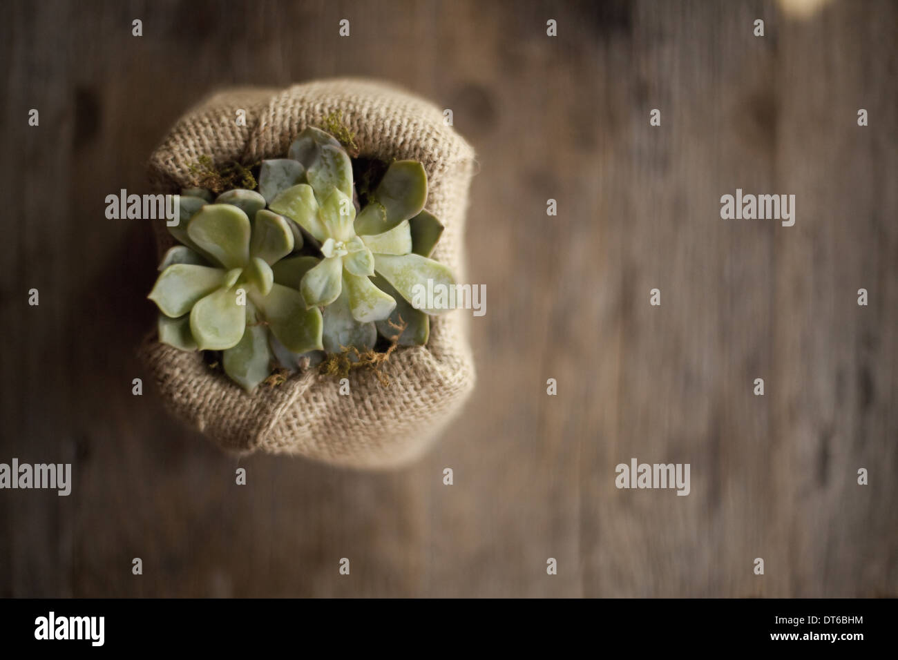 A small succulent plant in a container covered with hessian or burlap, on a dining table. - Stock Image