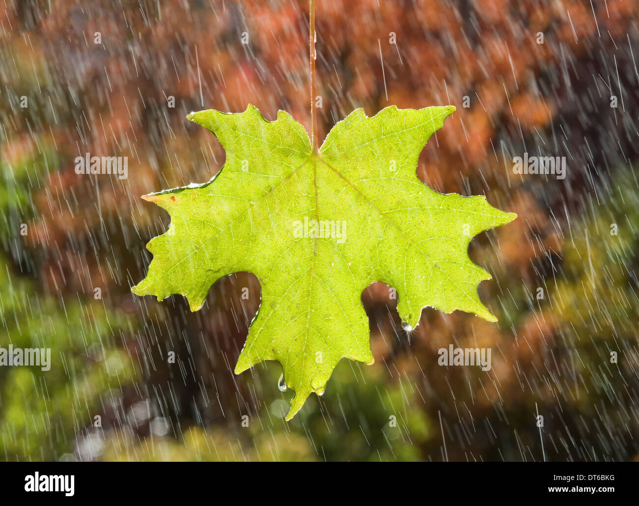 A vivid green maple leaf glistening in the rain, against a background of brown autumn leaves. - Stock Image