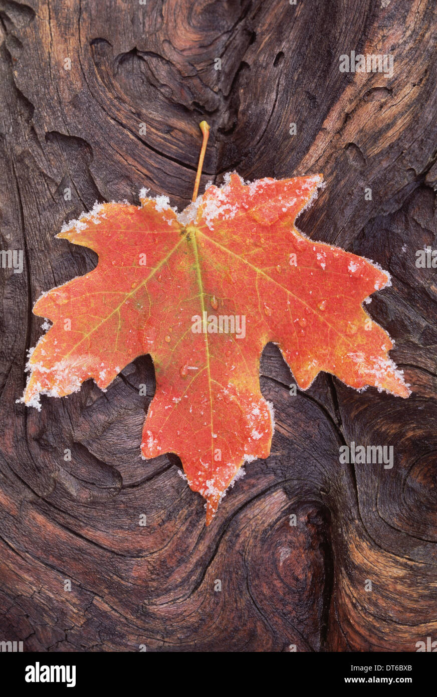A frosted red brown maple leaf, autumn foliage with ice crystals around the edge. A gnarled wood surface. - Stock Image
