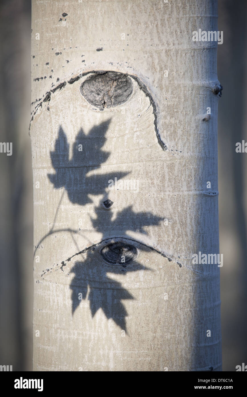An aspen tree with smooth white bark. The outline shadow of three maple leaves on the trunk. - Stock Image