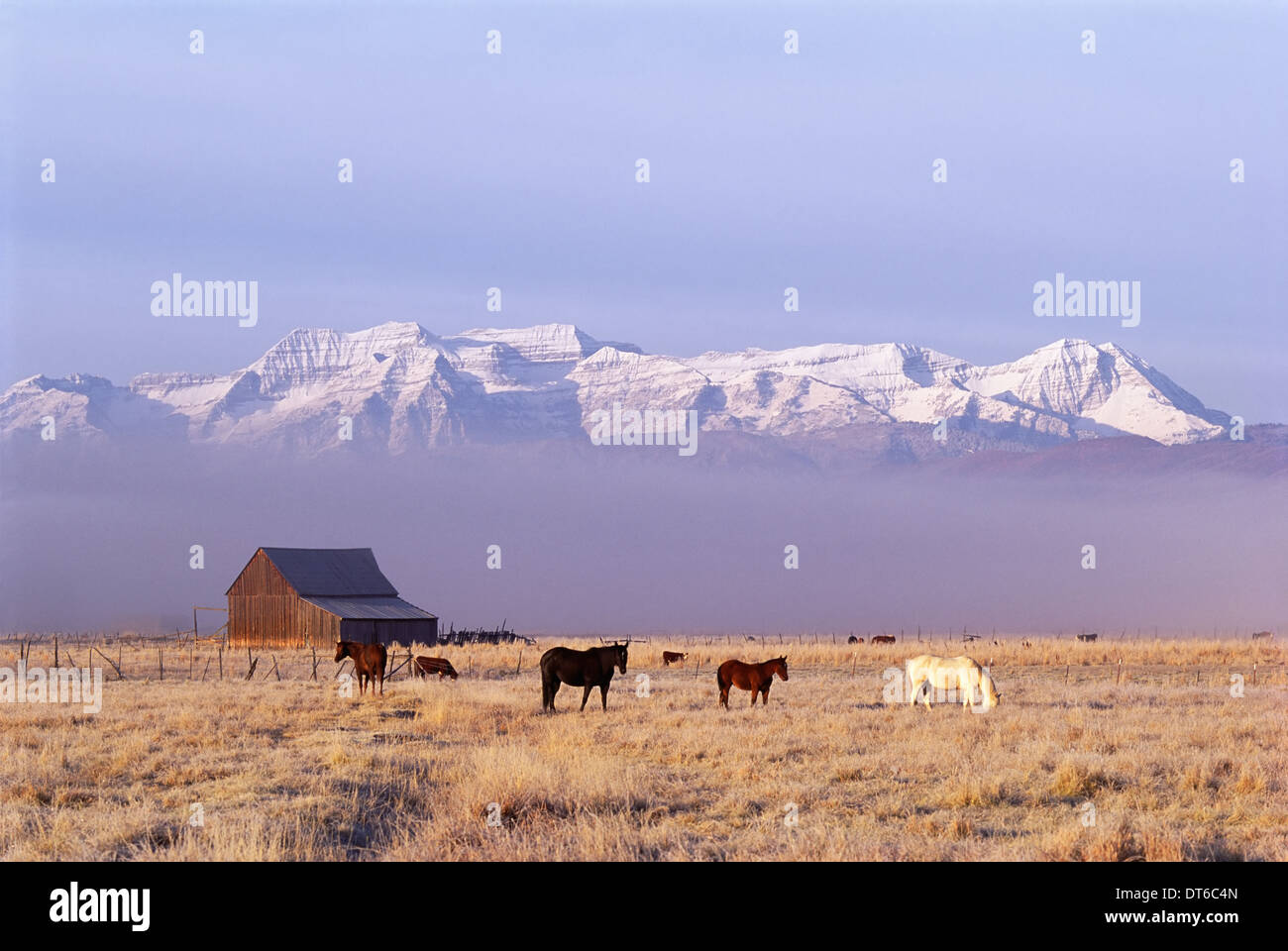 A small group of horses grazing in the Heber Valley. A snowcapped mountain range, and Mount Timpanagos. - Stock Image