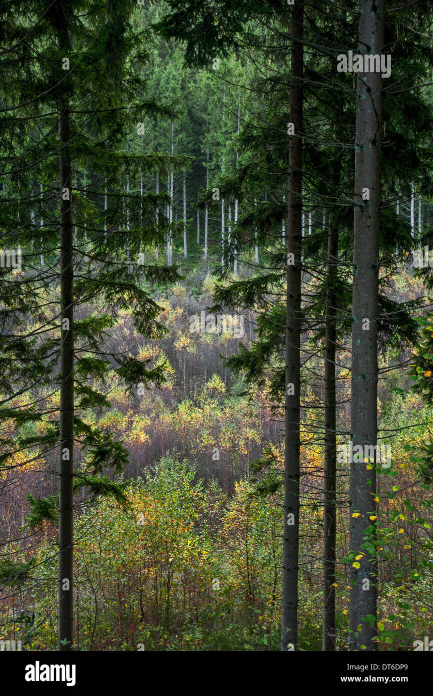 Mixed forest showing pine trees on slope and birches growing in valley - Stock Image