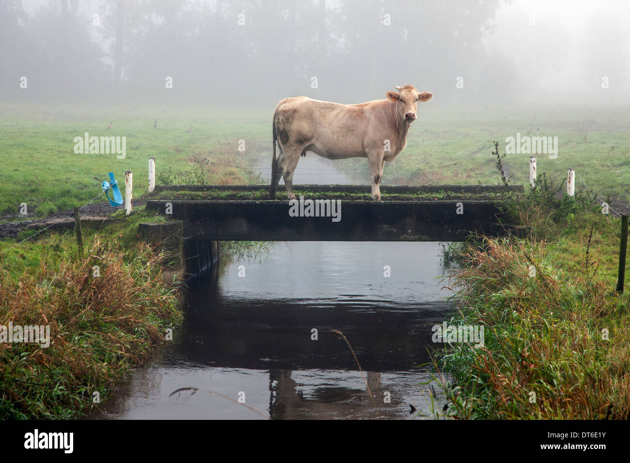 Curious cow on bridge over trench on farmland in polder - Stock Image