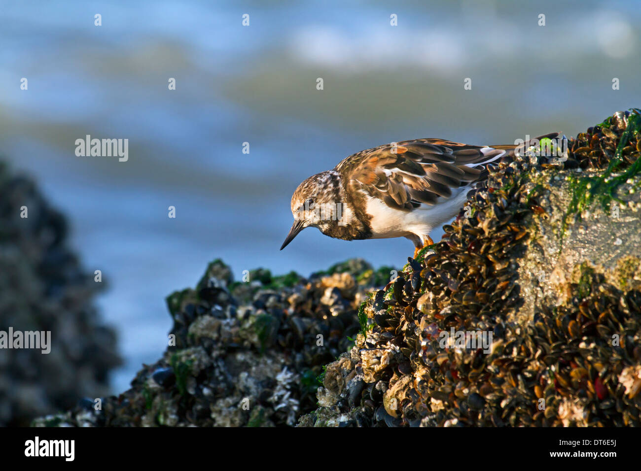 Ruddy Turnstone (Arenaria interpres) foraging on mussel bed at low tide along the North Sea coast - Stock Image