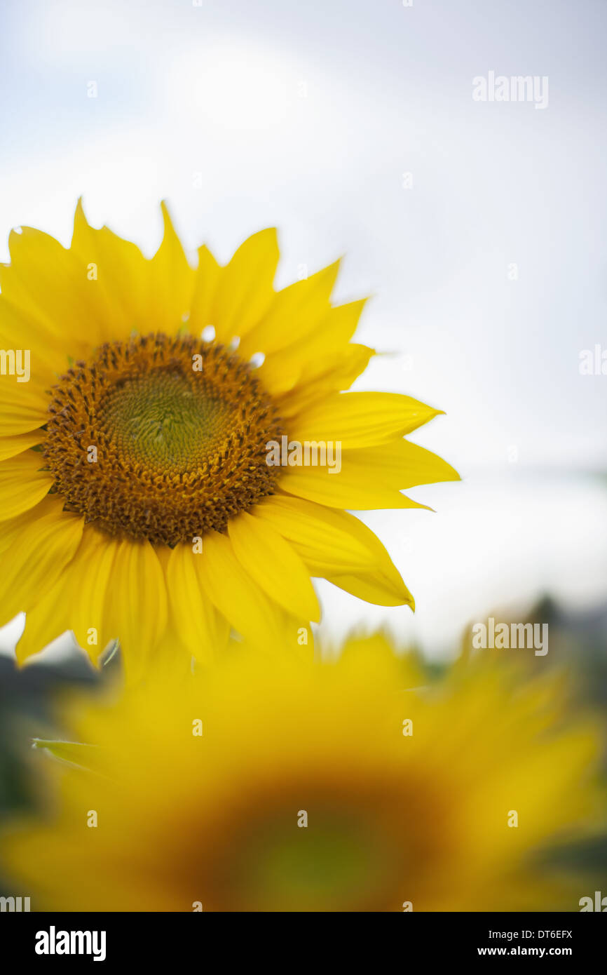 Two large yellow sunflowers. - Stock Image