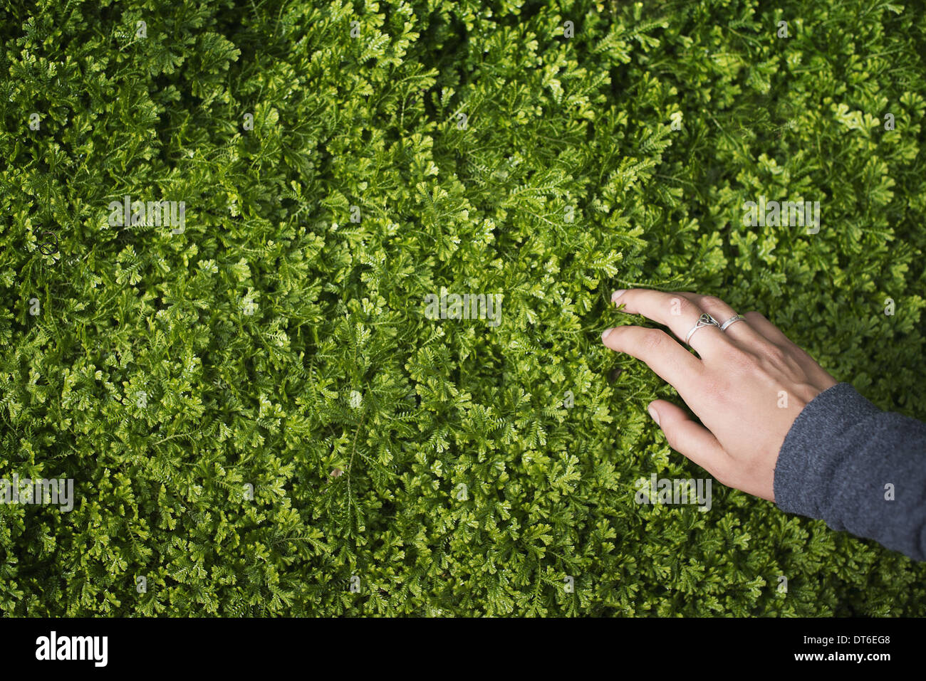 A woman's hand stroking the lush green foliage of a growing plant. Small delicate frilled edged leaves. Stock Photo